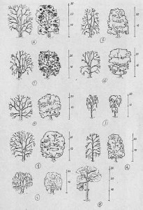 Tvary korun listnatých a jehlicnatých stromu a dub b lípa c